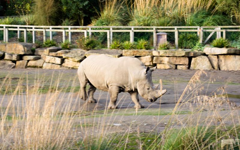 Hipopotamo no Dublin Zoo na Irlanda