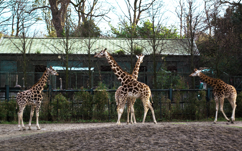 Girafas no Dubiln Zoo na Irlanda